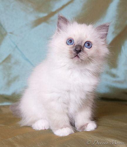 birman kitten pictures - photo #10