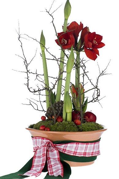 Amaryllis arrangement christmas trees decorations for Amaryllis christmas decoration