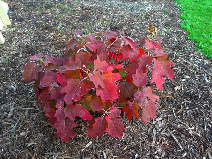 Oakleaf hydrangea - fall colorOakleaf Hydrangea Fall Color