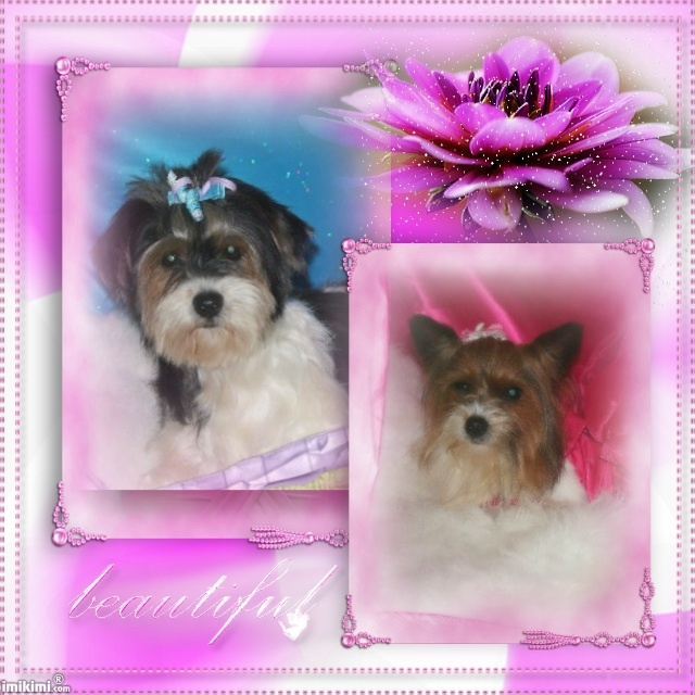 IBC registered Biewer Yorkie females sisters just turned 2 in may healthy all shots and vet checked due to come into heat Dec 2012 $1250 each or $2000 both pick up price Located in california 92555 Email - mypreciouspaws@msn.com