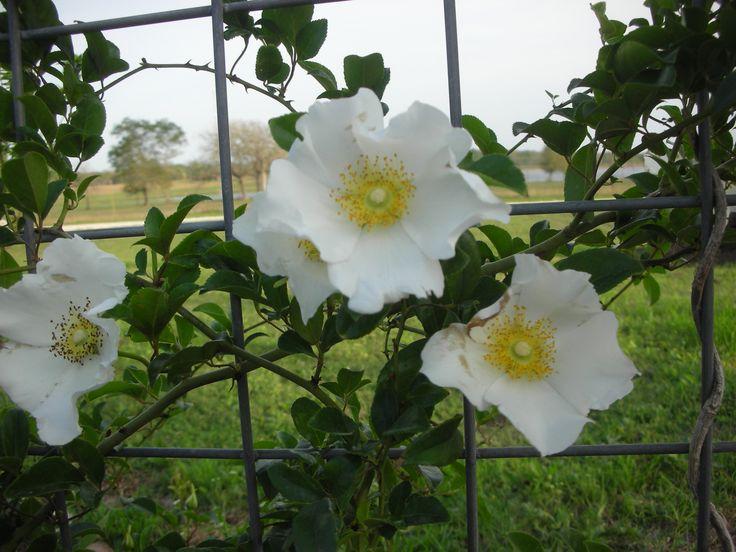 Cherokee rose backyard pinterest for Cherokee rose