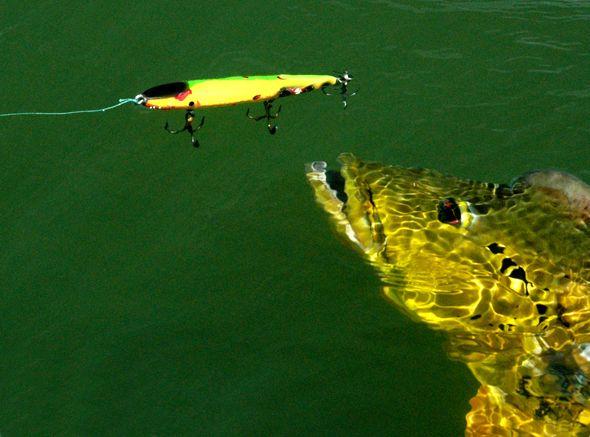 Amazon peacock bass fishing lagoon productivity for Topwater bass fishing