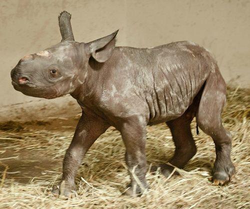 Found on zooborns typepad comRhinoceros Baby