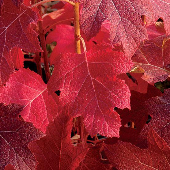 quercifolia    Snowflake     Oakleaf hydrangea  - Fall leaf colorOakleaf Hydrangea Fall Color