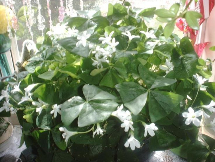Shamrock plant gorgeous fleures pinterest - Shamrock houseplant ...