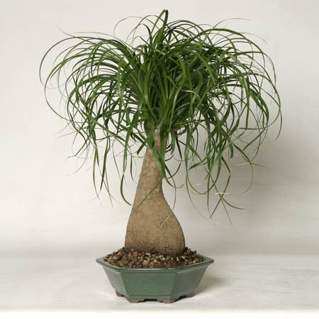 Ponytail palm bonsai other potted plants pinterest for Ponytail palm cats