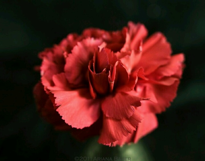 carnation flowers for valentines day