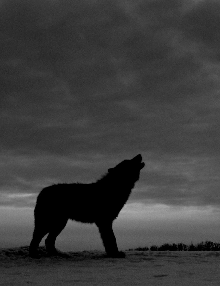 howling wolfWolf Howling Tumblr