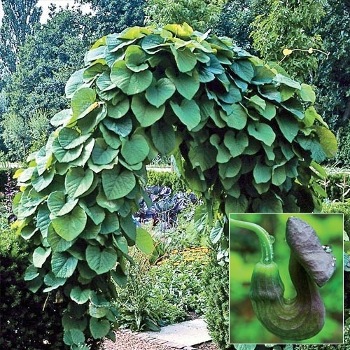 Dutchman s pipe gardening pinterest