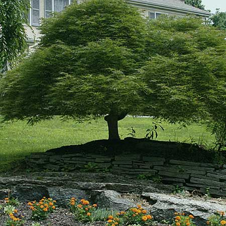 Japanese maple outdoor living spaces pinterest for Small hardy trees