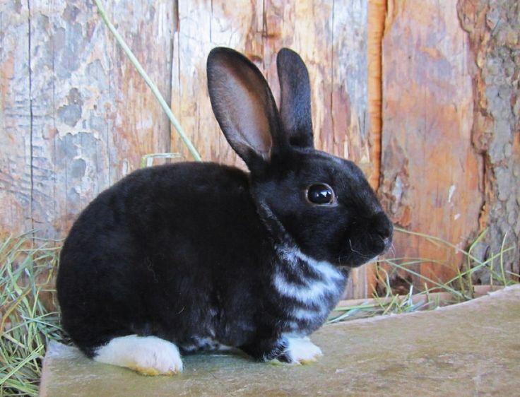 Pinned by AimeeBlack Mini Rex Rabbits