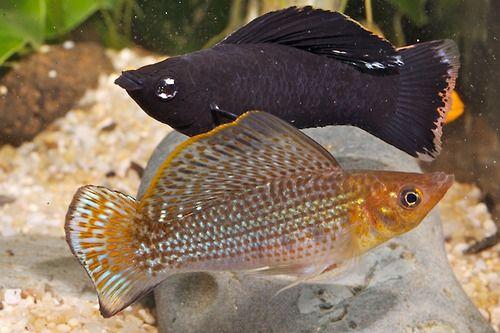 Sailfin Molly Fish I Like Pinterest