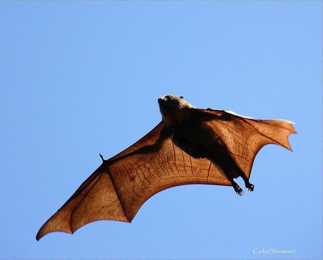 Giant golden-crowned flying fox | Really? | Pinterest