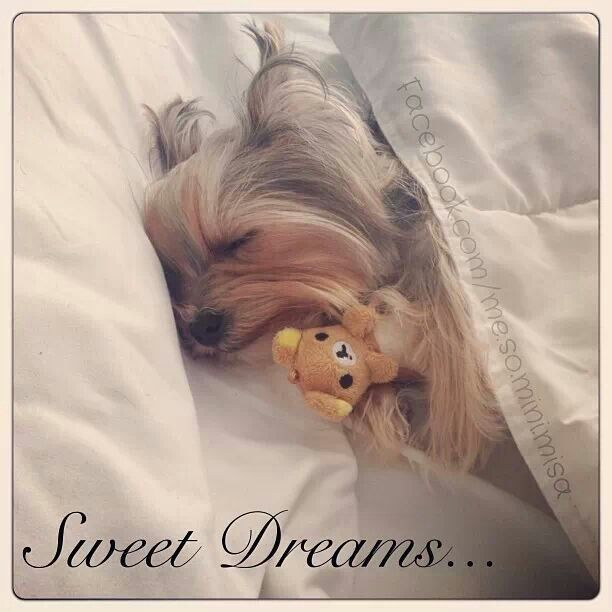 pin by carla spence on yorkies pinterest