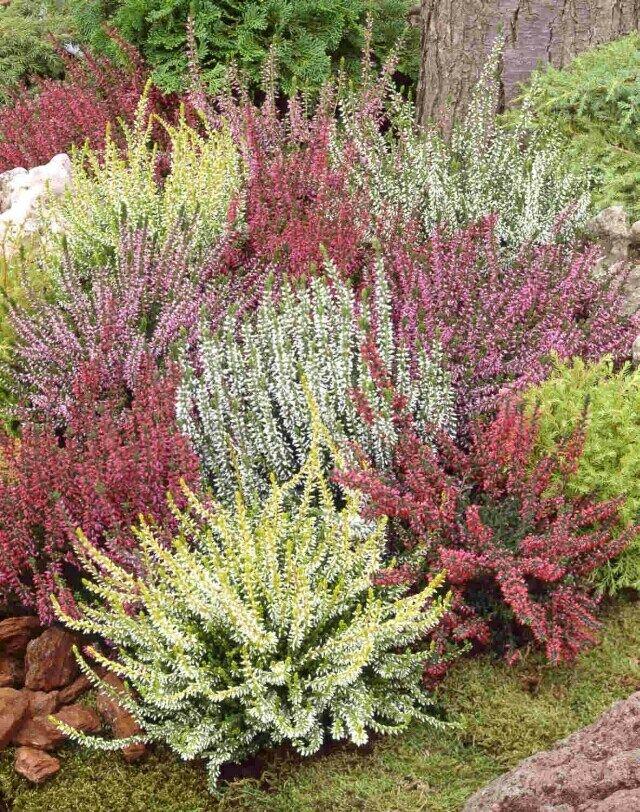 Calluna vulgaris flowers and shrubs pinterest for Calluna vulgaris