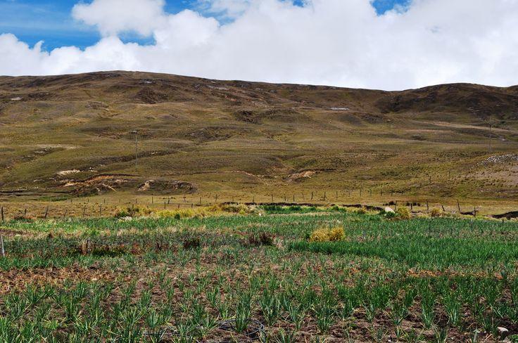 cebolla en colombia:
