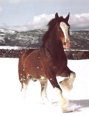Budweiser Clydesdales In Snow   ClydesdalesBudweiser Clydesdales In Snow