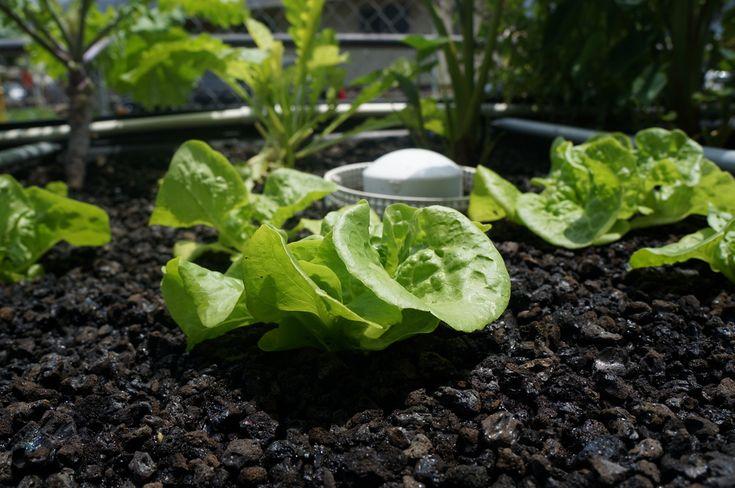 Lettuce in aquaponics for Aquaponics hawaii
