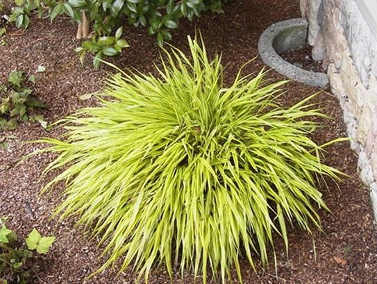 Japanese forest grass japan unique world pinterest for Yellow ornamental grass