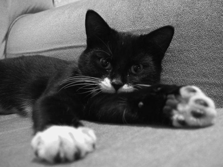 Tuxedo cat | Animals: Tuxedo Cats | Pinterest