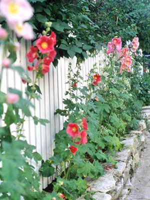 picket fence and hollyhocks