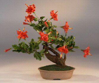 Bonsai Hibiscus! :)