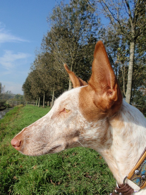 Ibizan Hound. | FCI Group 5 - Primitives | Pinterest