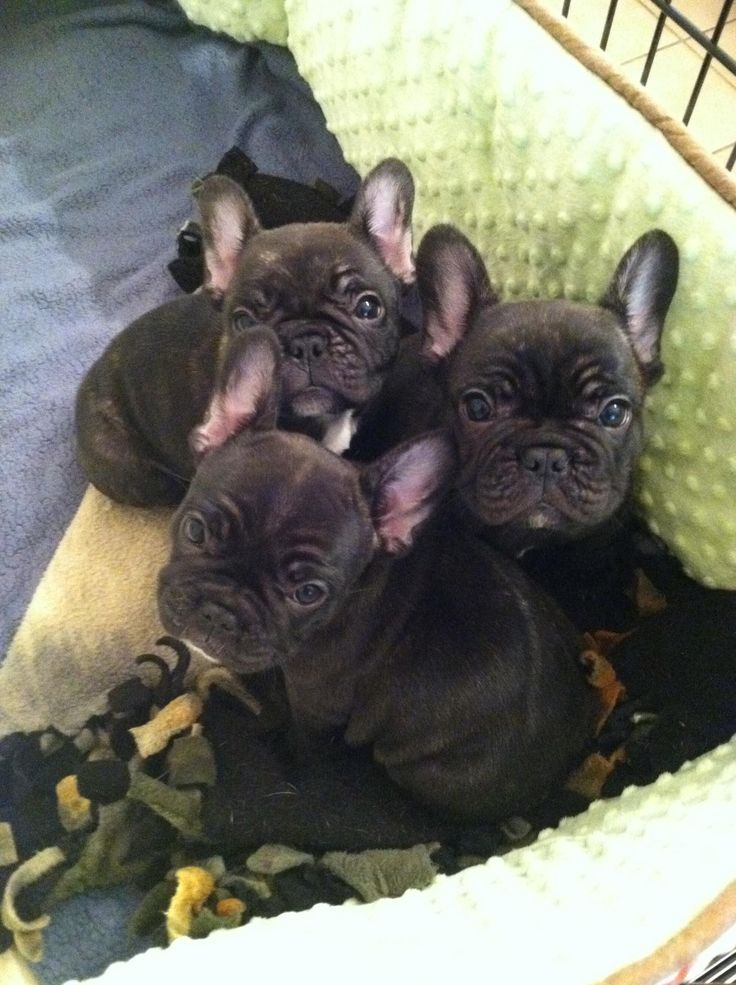 Frenchie Puppies | spike | Pinterest