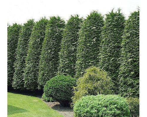 Green giant arborvitae mb pinterest Green giant arborvitae