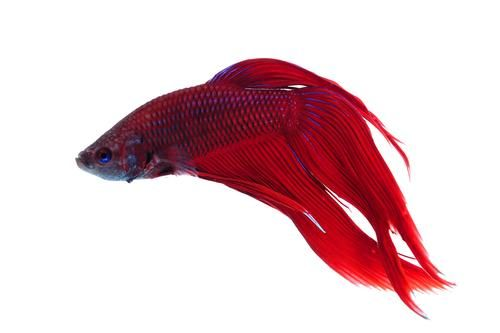 Pin by jessica lynn on art photography pinterest for Red betta fish