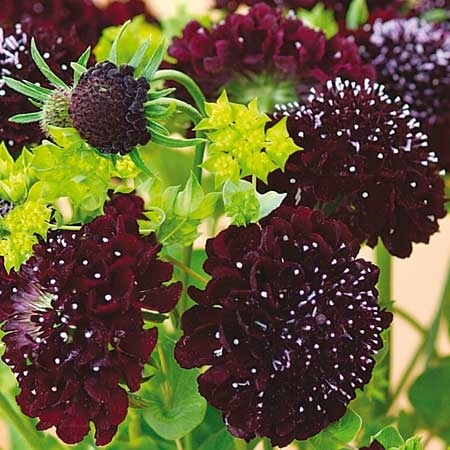 Scabiosa atropurpurea 'chile black' : looks stunning against lime green, purple, red, yellow - against anything actually.  Must have!