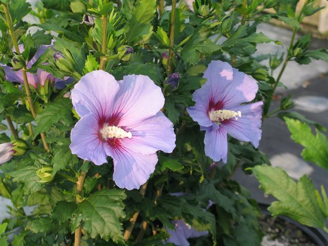 hibiscus syriacus 39 lavender chiffon 39 perennials pinterest. Black Bedroom Furniture Sets. Home Design Ideas