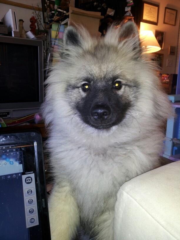 Five months old | Neelix my keeshond service dog | Pinterest