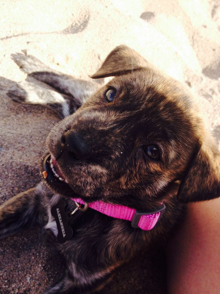 Brindle Pitbull puppy | For my doggie :) | Pinterest