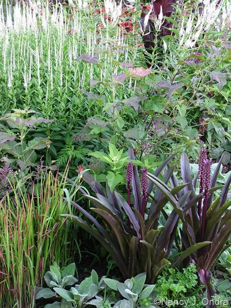 Root Landscaping : Culver s root pineapple lily oakhurst lamb ears landscaping