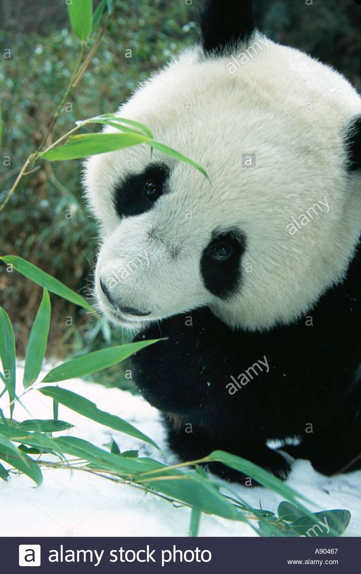Giant panda cubs enjoy special New Year treat ahead of