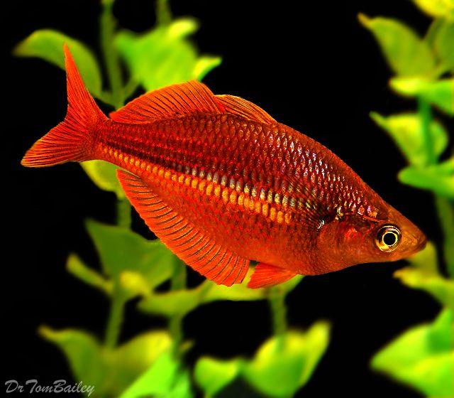 Red irian rainbowfish freshwater fish pinterest for Tropical rainbow fish