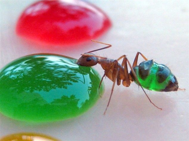 Ant eating green