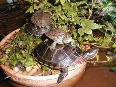 pet turtles - Google Search ART by Monika Tiwari Pinterest