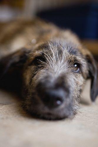 L'Irish Wolfhound 1ea7053ec1fca319a11e433af14f22ab