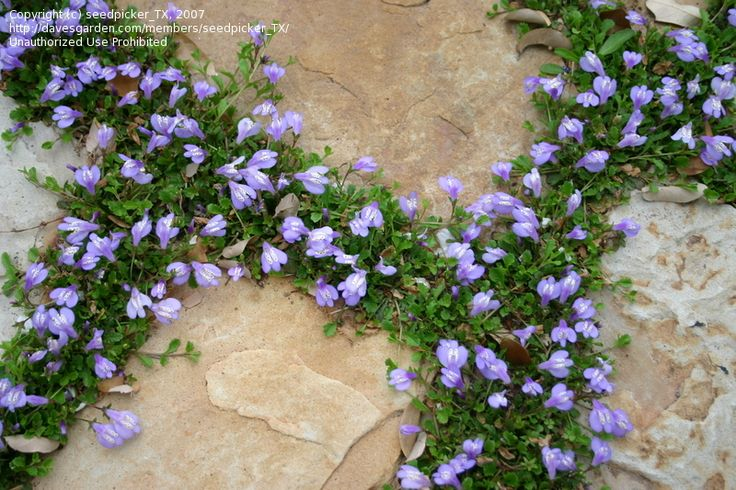 Creeping mazus mazus reptans cottage gardens pinterest for Best low growing groundcover for full sun
