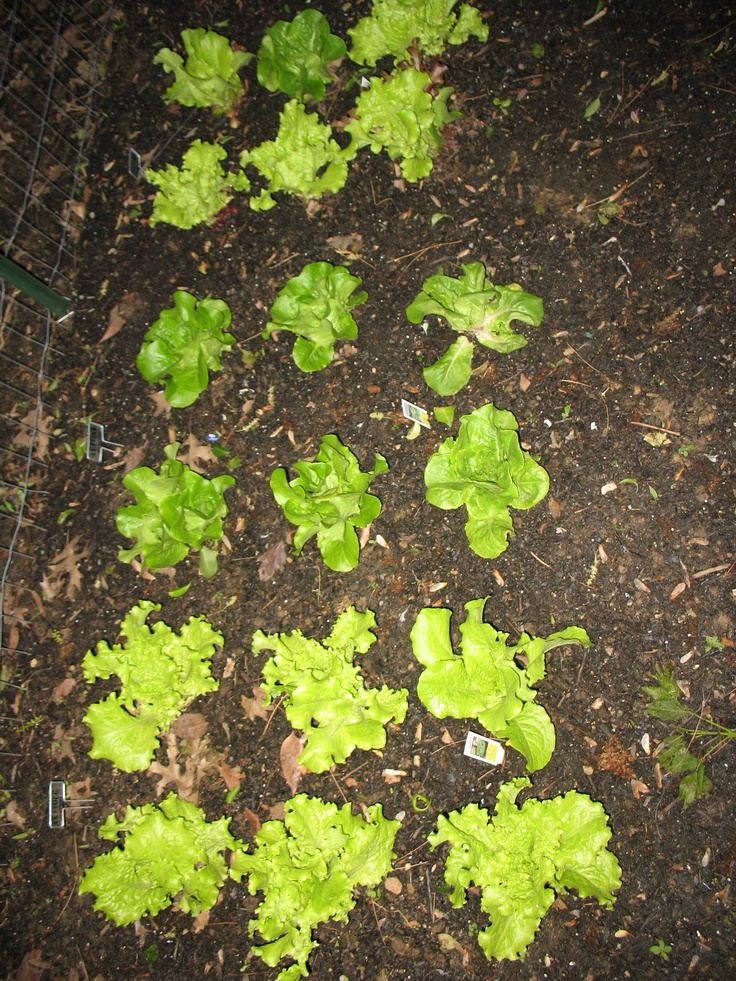 Lettuce loose leaf varietiesLoose Leaf Lettuce