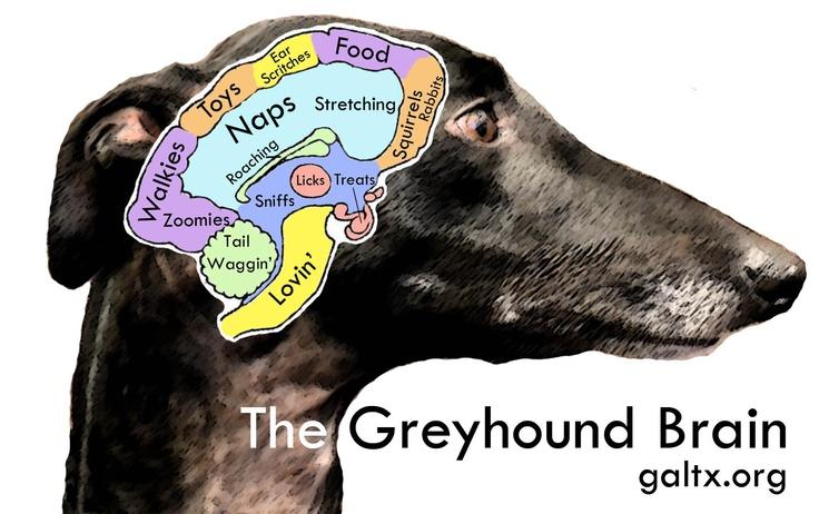 english greyhound dog