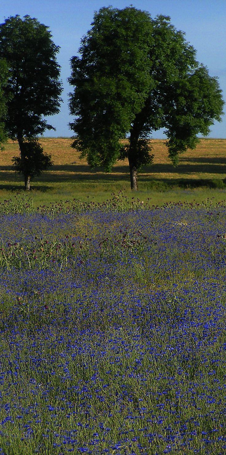 Champ de bleuets dans la campagne française