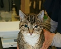 Boston Animal Advocacy Examiner, Kindness Overcomes Cruelty for a Cat Aptly Named Bernadette