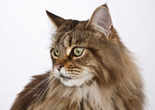 12 kid-friendly cat breeds