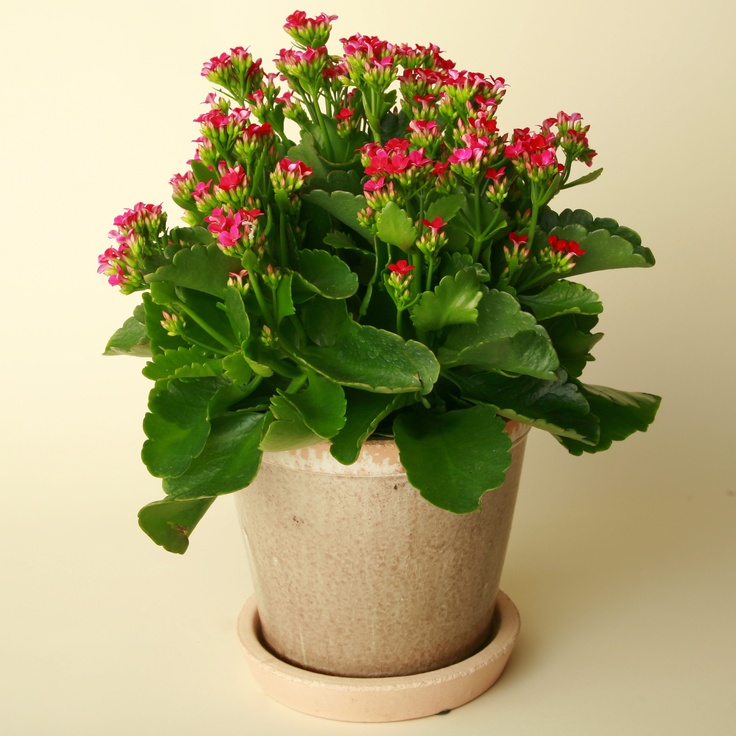 How to plant and care for Kalanchoe 38