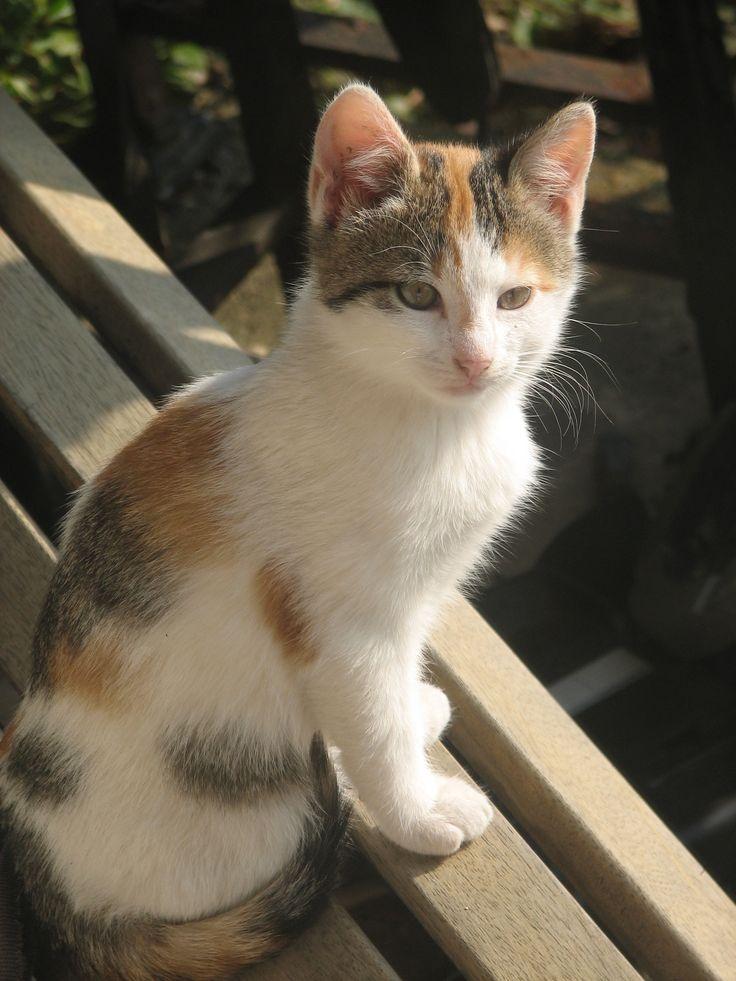 Black And White Calico Cat