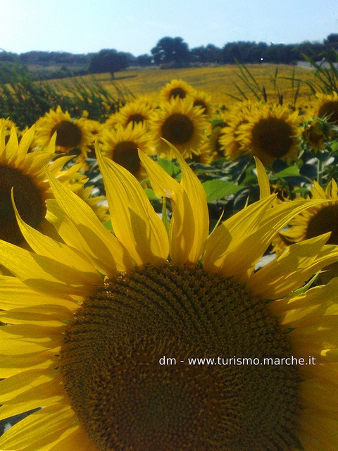 Sunflowers - Marche, Italy
