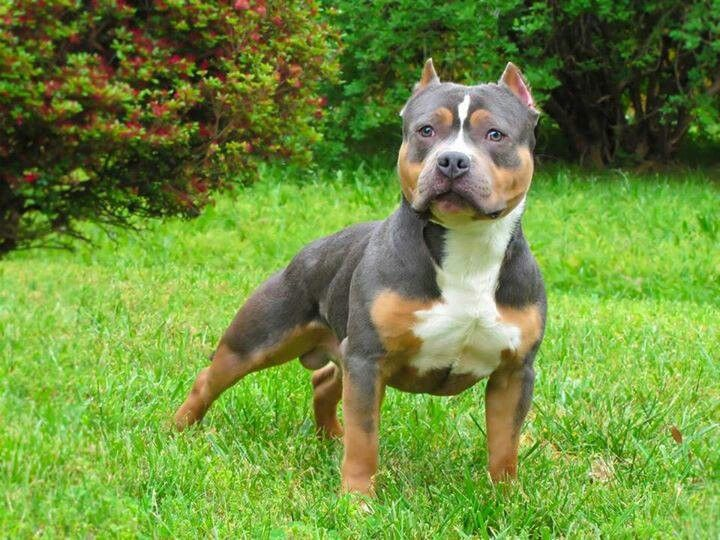 awesome tri color blue nose pit pit bulls
